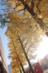 銀杏並木(日比谷通り)