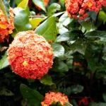 オレンジ色の紫陽花